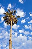 Palm Tree And Fair Weather Clouds