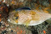 Porcupine fish close up