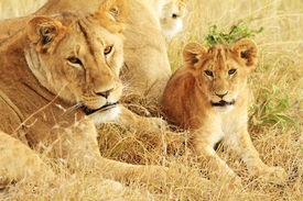picture of baby animal  - A lion  - JPG