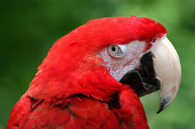 pic of polly  - red parrot giving a look close - JPG