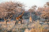 Young Funny Namibian Giraffe Is Curiously Looking Into Photographer While His Mother Is Going Into S poster