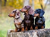Dachshunds dog in the autumn background poster