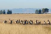 Elk herd walking away across the tule fields on Grizzly Island, CA wildlife refuge
