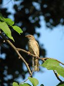 Female of sparrow sits on branch