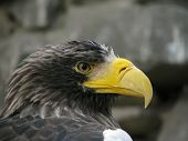 Profile of sea eagle on the stones