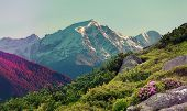 Wonderful Mountains Landscape At Summer Day. Fresh, Pink Flowers Rhododendron On Valley And Snowcove poster