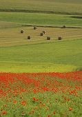 Apennine Poppies, Hay Bales, And Lentil Fields