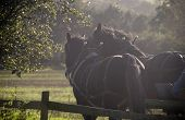 foto of workhorses  - shire horses pulling cart in harness pair workhorses - JPG