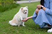 Woman train on White pomeranian dog in the park poster