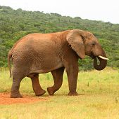African elephant, South Africa
