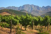 Rows of grape vines, South Africa