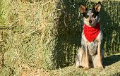 Heeler Pup 40