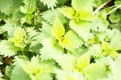 Stinging Nettle Leaves As Background Growing In The Wild. Beautiful Texture Of Nettle. Healthy Food  poster