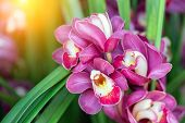 Orchid Flower, Cymbidium Orchidaceae, Flower In Garden At Sunny Summer Or Spring Day. Flower For Pos poster