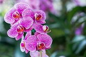 Orchid Flower, Phalaenopsis Orchidaceae, Flower In Garden At Sunny Summer Or Spring Day. Flower For  poster