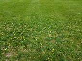 Green Grass Yard Or Lawn With Weeds And Dandelions poster
