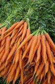 Carrots with green stalks and roots.