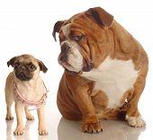 English Bulldog With Pug Puppy With Collar
