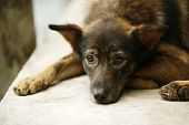 image of puppy eyes  - Brown color puppy with sad eyes looks ahead - JPG