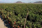 Red Pepper Field