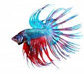 Betta Fish closeup. Colorful Dragon Fish. Aquarium. Isolated on a white background