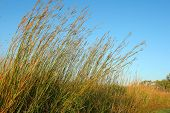 Big Bluestem Prairie Grass