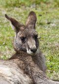Kangaroo relaxing