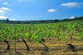 Lush Vineyard