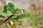 Sparrow on Jatropha - two endemic species on one photo: Socotra Sparrow (Passer insularis) on Jatrop