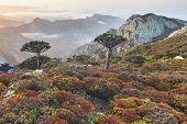 Dragoeiros - árvore endémica de Dracaena cinnabari - sangue de dragão - de Socotra, Iémen