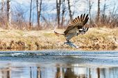 stock photo of osprey  - Osprey catching a fish from a pond - JPG