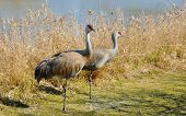 Portrait Of The Couple Sandhill Crane On The Lake