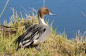 Retrato del pato Ánade rabudo en el lago