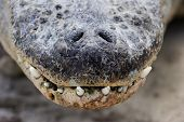 Alligator Nose Close up