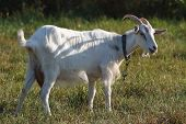 White goat tethered in a pasture