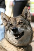 stock photo of laika  - portrait of a west siberian laika smiling for the camera - JPG