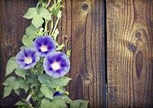 Morning glory on wooden background