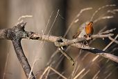 European Robin (Erithacus rubecula) perched on a branch