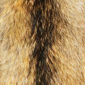 great racoon fur texture