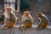 Three rhesus macaque monkeys (Macaca mulatta)