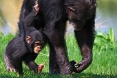 Andando chimpanzé bebê com sua mãe