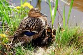 picture of speculum  - The female Mallard or Wild Duck  - JPG