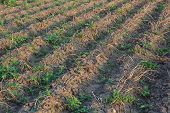 Withered Potato Field With A Weeds Closeup