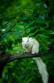 foto of albinos  - Rare white squirrel in a tree in the city park in Olney Illinois one of the few places were a large number of them exist. The squirrels are not albino but have white fur from leucism.