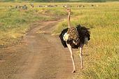 Male Ostrich Walking Down A Street
