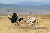 Couple Of Ostriches Breeding