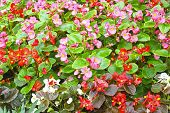 picture of begonias  - Red and pink flowers of begonia on a flowerbed - JPG
