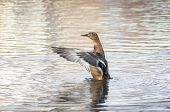 Joyful Wild Duck