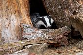 foto of badger  - Badger in the wild in their natural habitat - JPG