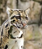 picture of snow-leopard  - Portrait of a young Snow Leopard in Lowry Park Zoo located in Tampa - JPG